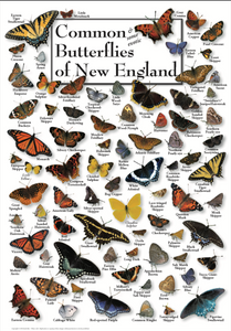 BUTTERFLIES OF THE NEW ENGLAND COAST POSTER