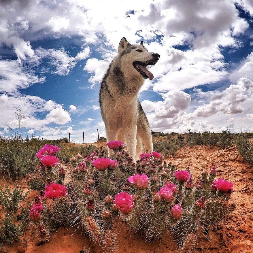 Loki the Wolfdog in a Flowery Desert - GoWorx Blog
