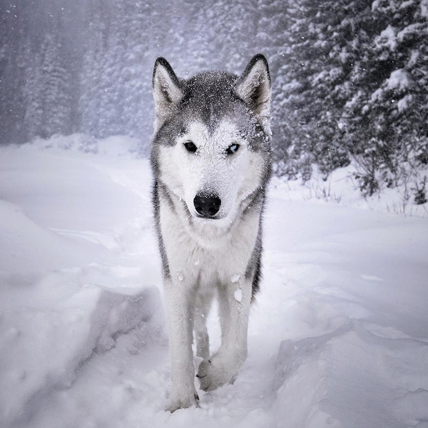 Loki the Wolfdog walking through snow - GoWorx Blog