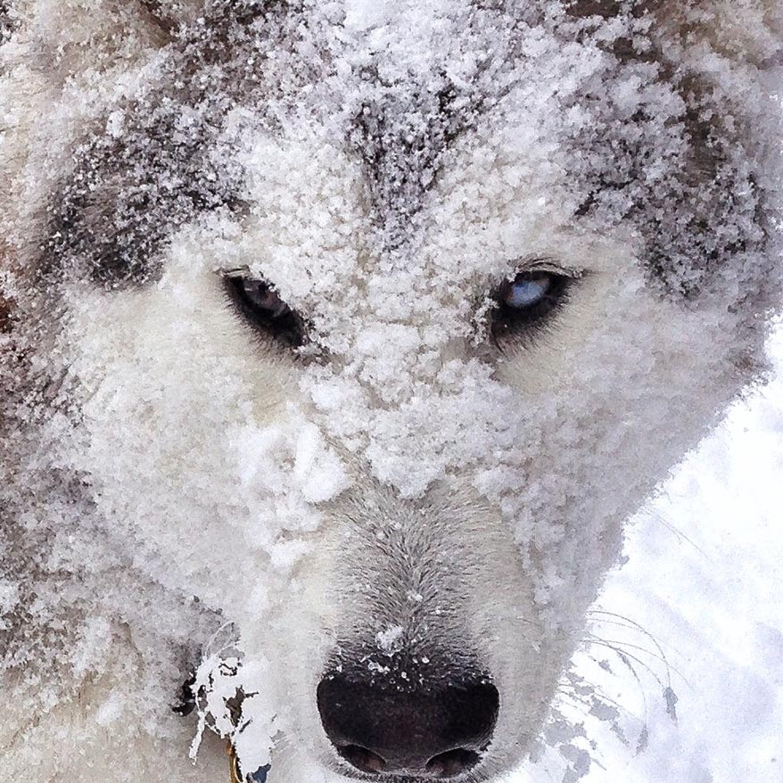 Loki the Wolfdog covered in snow - GoWorx Blog