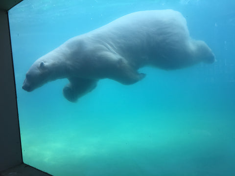 polar bear swimming photo by Laura Lee Fritz