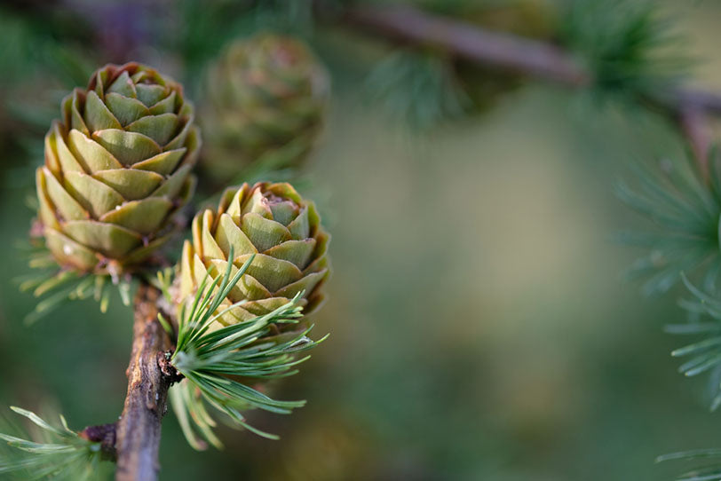 pine cones and green needles on branches