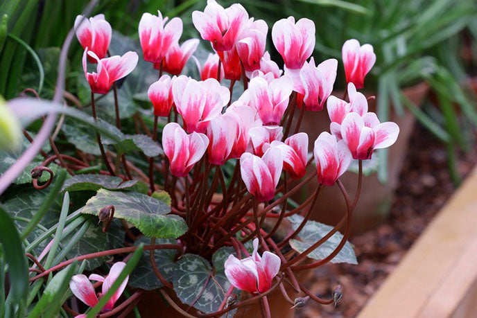 potted red and white cyclamen flowers