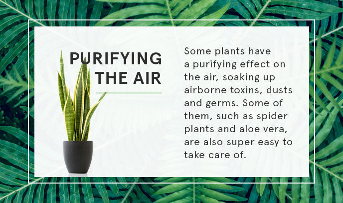 purifying the air with plants graphic