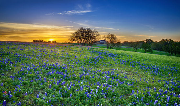 texas sunrise with bluebonnets
