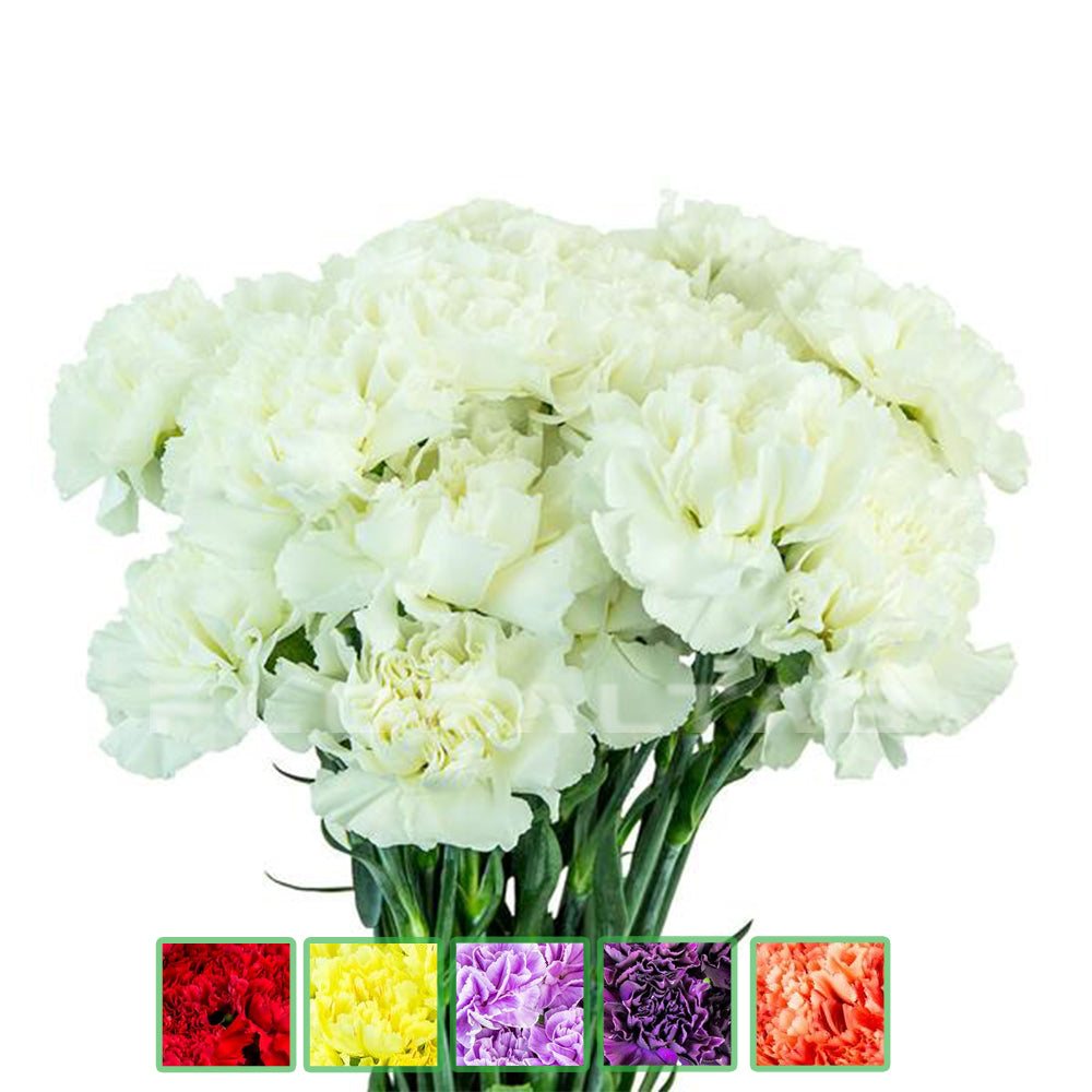 Carnations Fancy QB - 7 Bunches