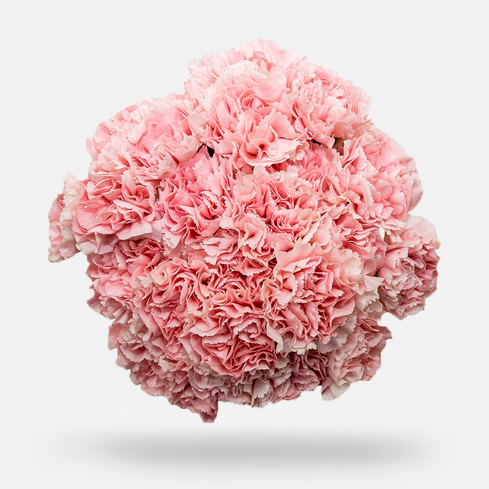 Carnations - Grade: Fancy - OM