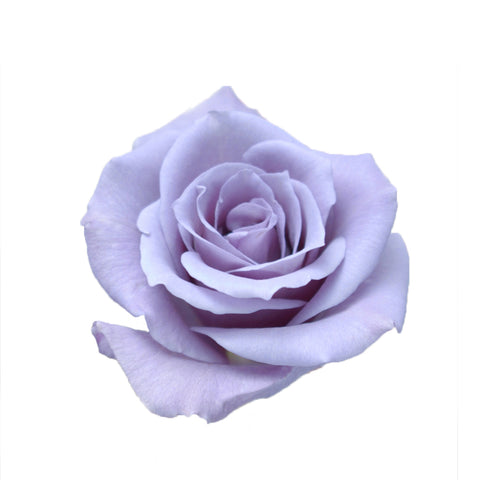 Roses Colombian 40cm HB - 8 Bunches (Lavender - Blue Rose APPLAUSE)