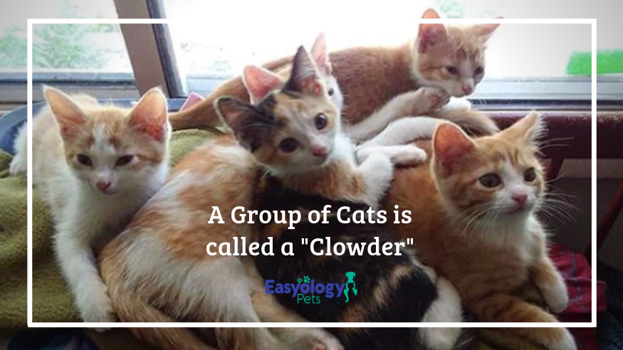 A Group of Cats is called a Clowder