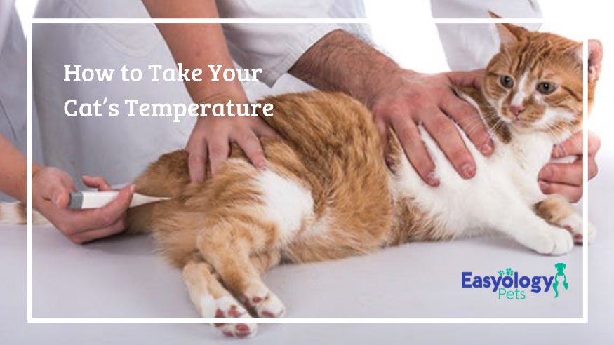 How to take a cat's temperature
