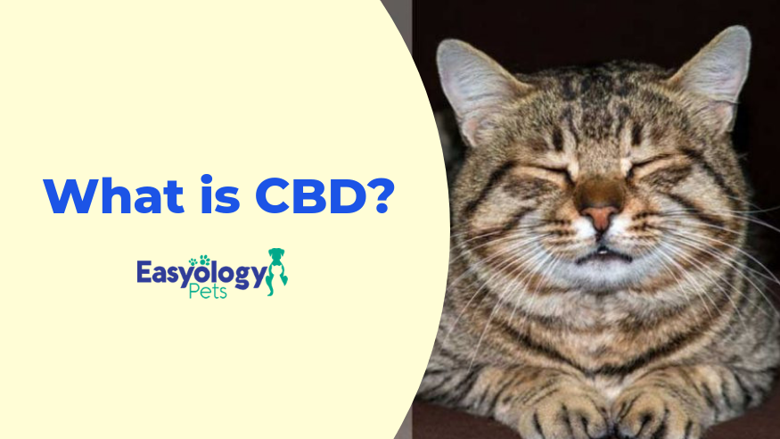 Cannabidiol for feline pain management