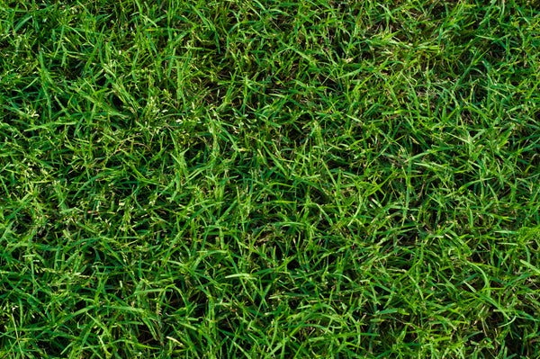 MIGHTY109 Hybrid Bermuda Sod - California Delivery Only