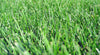 Medallion 100% Tall Fescue Seed Blend 16 oz Shaker - Grass Seed