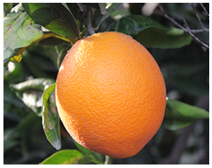 Washington Navel Oranges - One 30 lbs. case  (Available Jan. - Mar. in CA, AZ, NV, OR, and WA)