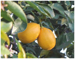 Meyer Lemons - One 3 lbs. case (Available Nov. - Jan. in CA, AZ, NV, OR, and WA)