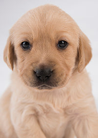 A yellow Labrador puppy looking towards the camera