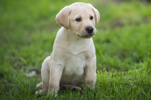 Puppy vaccinations - Virtual Gift