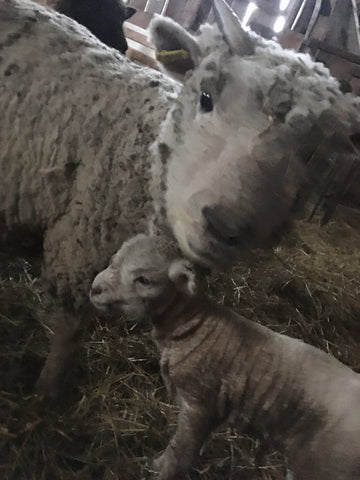 Mom and baby sheep