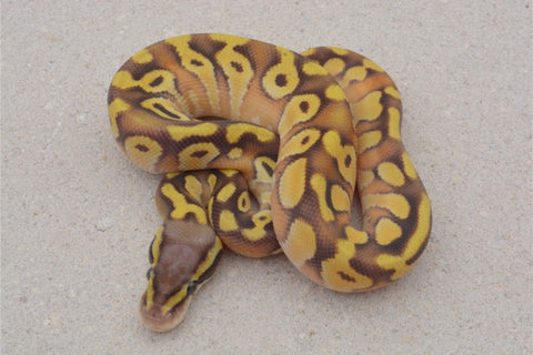 Pastel Mojave Enchi Asphalt??? World's First