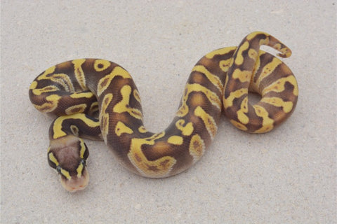Pastel GHI Enchi Asphalt Calico??? World's First