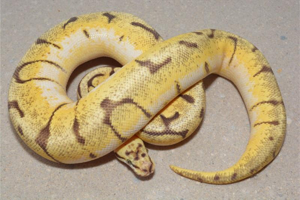 Blonde Pastel Stinger Het Daddy