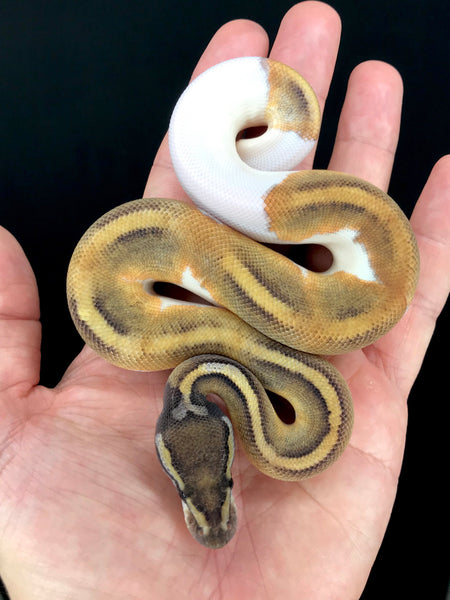 Mojave Pied Male