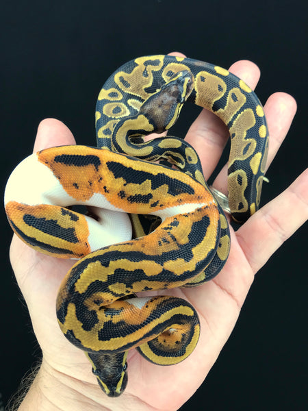 Pied het Candy and DH Candy Pied