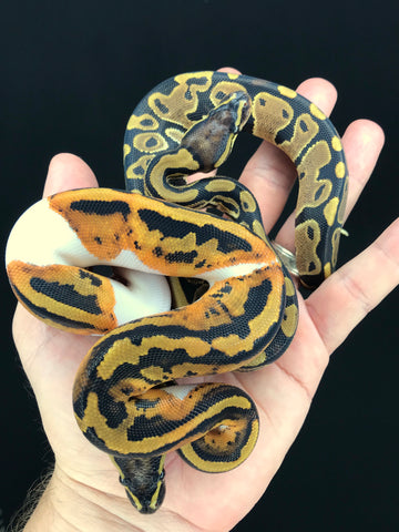 Pied het Candy Male and DH Candy Pied Female