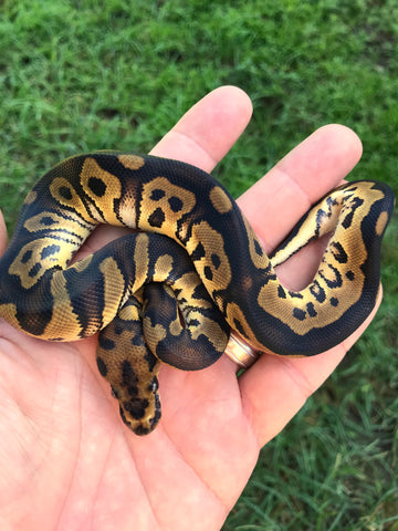 Male Clown het Pied