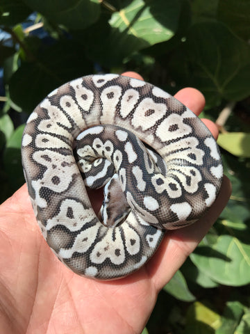 Female VPI Axanthic Super Pastel