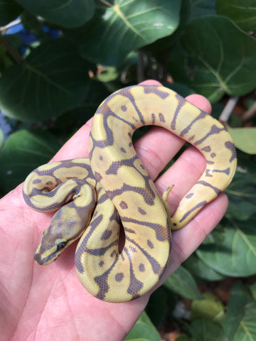 Male Leopard Spider Mojave Ghost