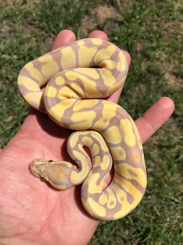 Female Desert Ghost Enchi Banana