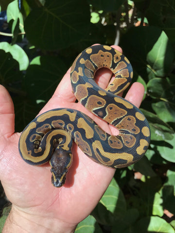 Female het Candy het Pied