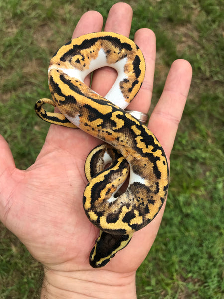 Male Pastel Pied