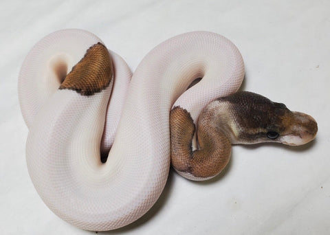 Black Pastel Mojave Pied Female