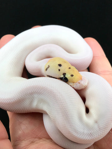 Firefly Spider Pied Male 1