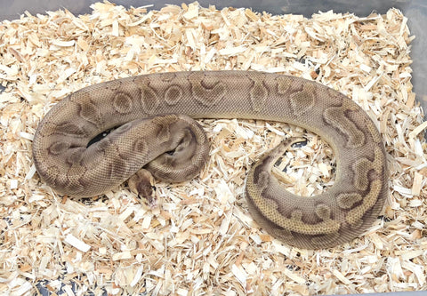 Female Champagne Enchi