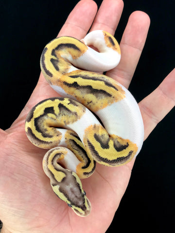 Firefly Pied Female