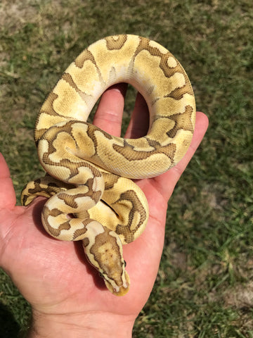 Female Bamboo Pastel Enchi