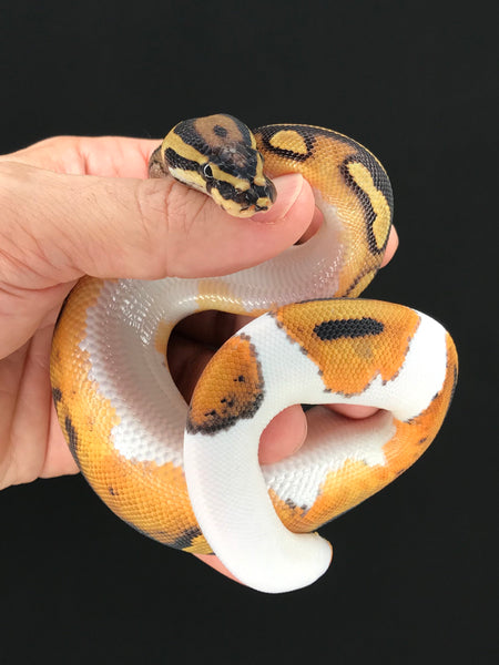 Pied Female 10