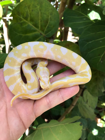 Albino Leopard het VPI Axanthic (makes snows)