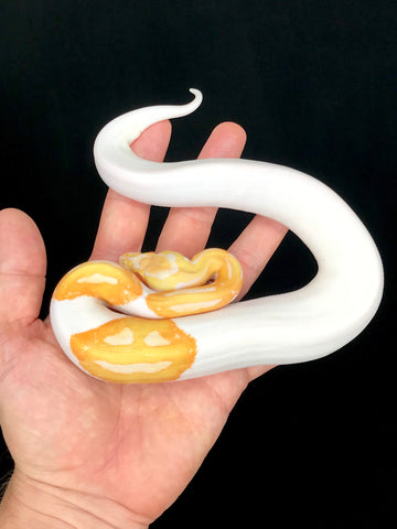 Albino Pied Male Double Smiley
