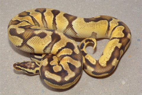male pastel enchi het clown adult