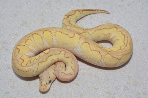 male pastel lesser clown 250g