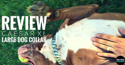 Caesar XL Large Dog Collar Review | BIG DOG CHAINS