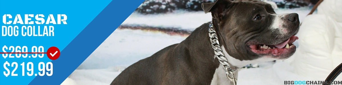 BIG DOG CHAINS - Caesar Designer Collar