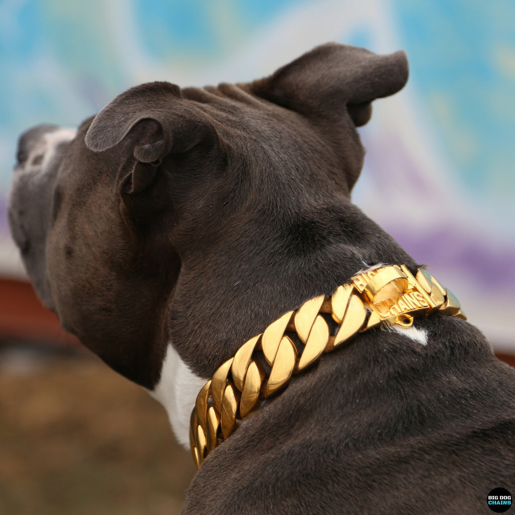 Gold dog collar - BIG DOG CHAINS