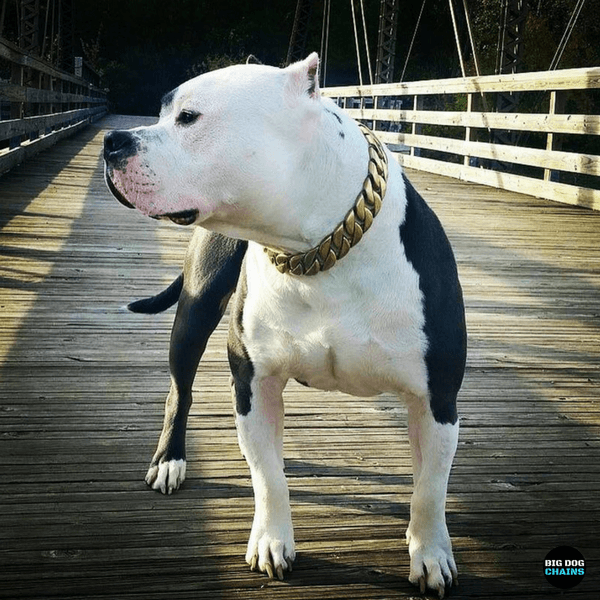 American Pit bull Bully Large Gold Cuban Link Dog Collar Luxury Custom Stainless Steel Dog Collar - BIG DOG CHAINS