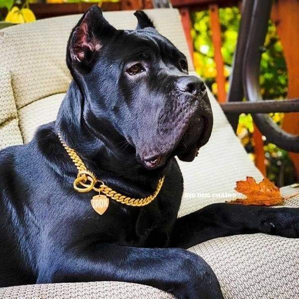 CUBAN_Choker_Gold_and_Stainless_Steel_Traning_Collar_Cane_Corso_Presa_Canario_Strong_and_Large_Collar_BIG_DOG_CHAINS