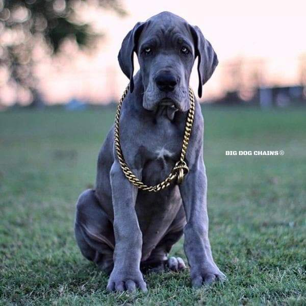 CUBAN_Gold_Choker_Collar_Large_and_Strong_Training_Collar_Great_Dane_BIG_DOG_CHAINS